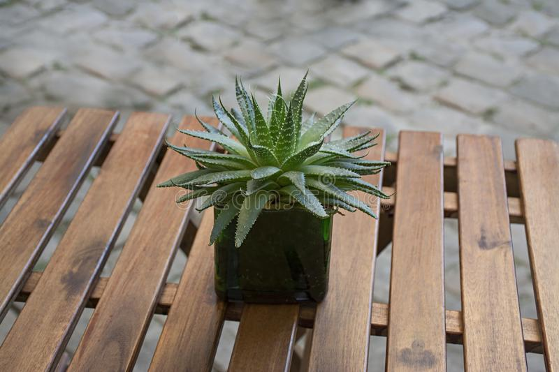 Small aloe cactus in white pot on wood table.  royalty free stock photo