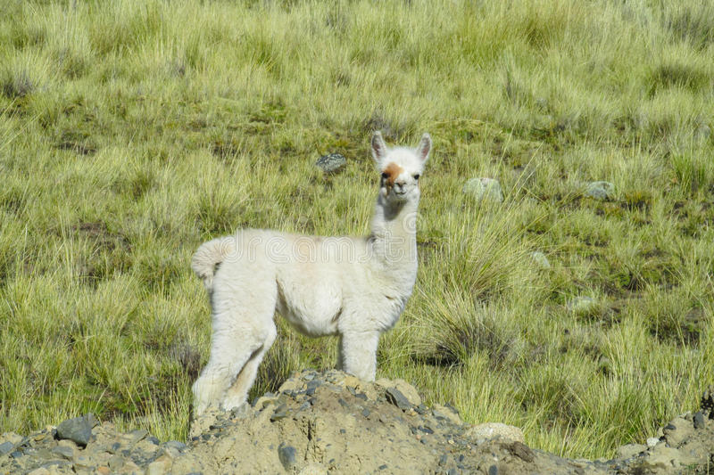 Small alpaca on green meadow. The llama, lama and alpaca domesticated South American camelid animals on the green meadow in the Andes mountains. Furry llama on stock images