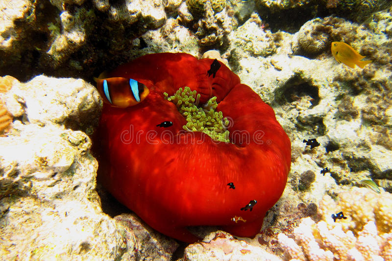 small anemone fish in red anemone royalty free stock photo