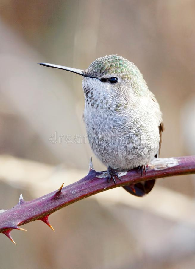 Small Anna`s Hummingbird Sitting Pretty in the Blackberry Vines royalty free stock photo