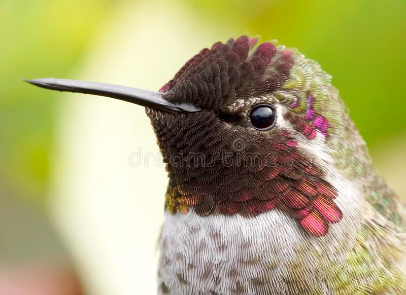 Detailed Headshot of an Annas Hummingbird Feathers royalty free stock photography