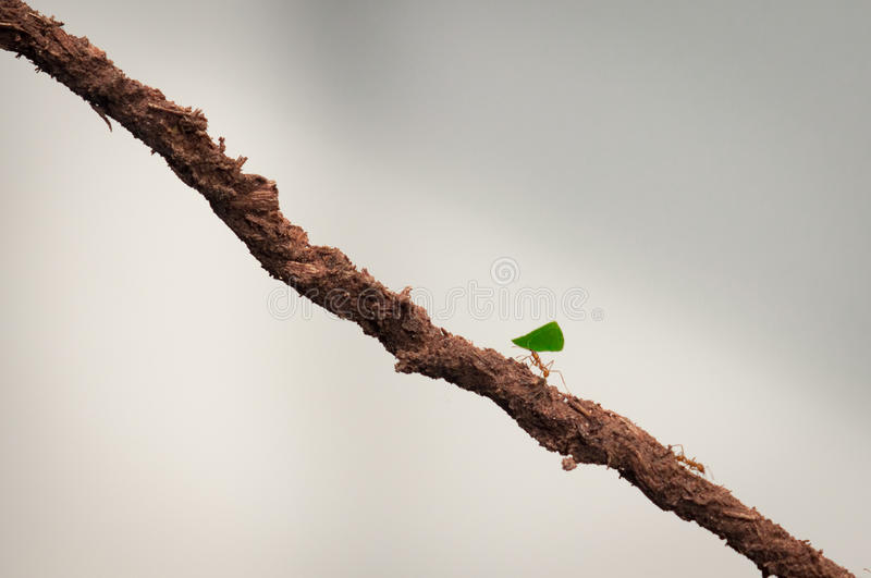 Small ant carrying green leaf. Double her size on a brown stick stock photo