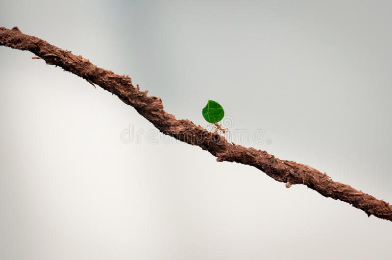 Small ant carrying green leaf. Double her size on a brown stick royalty free stock photo