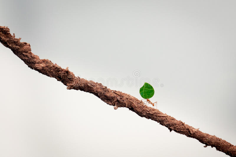 Small ant carrying green leaf. Double her size on a brown stick stock images