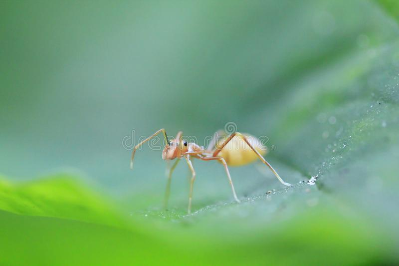 Ants are on leaves in nature. A small ant walking on a green leaf in nature royalty free stock photography