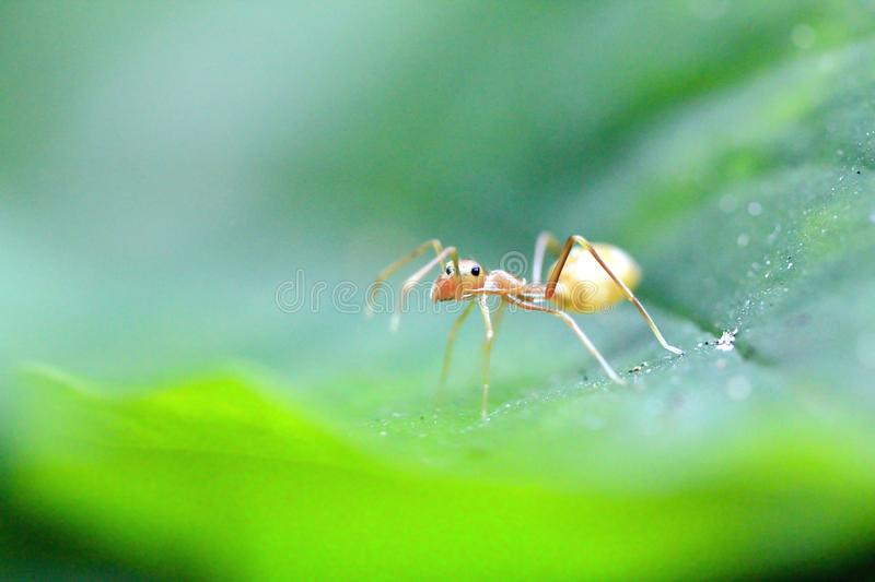 Ants are on leaves in nature. A small ant walking on a green leaf in nature royalty free stock image