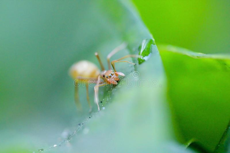 Ants are on leaves in nature. A small ant walking on a green leaf in nature royalty free stock photo