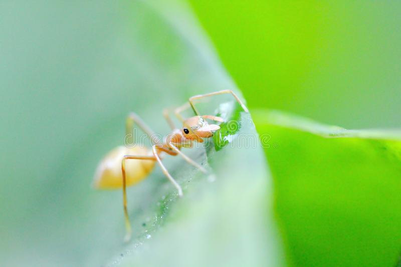 Ants are on leaves in nature. A small ant walking on a green leaf in nature stock photo