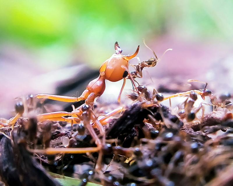 Small ants hunting a big red ant royalty free stock photos