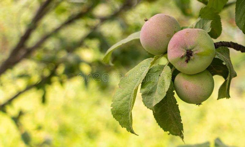 Small apple fruits in the tree with copy space.  stock photos