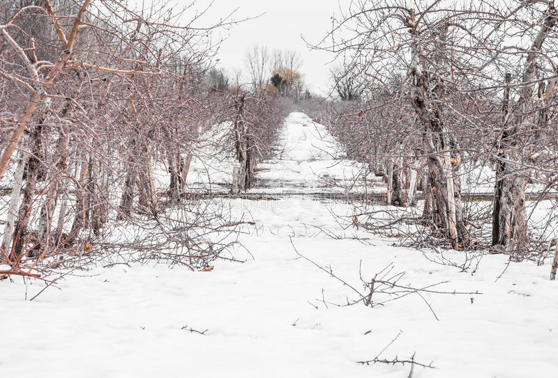 Small Apple Trees During Wintertime royalty free stock images