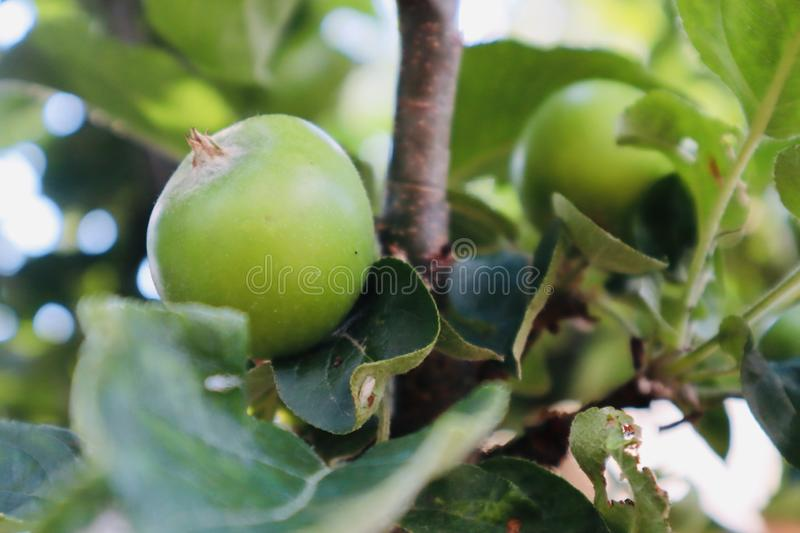 Small apples growing on a apple tree royalty free stock photos