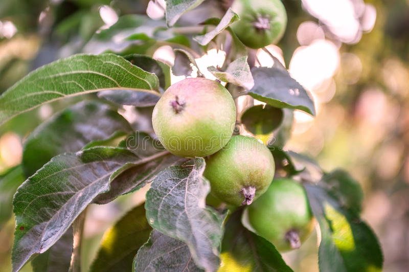 Small apples growing in the pear orchard. stock photography