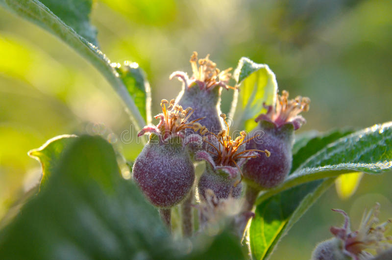 Small apples growing stock photography