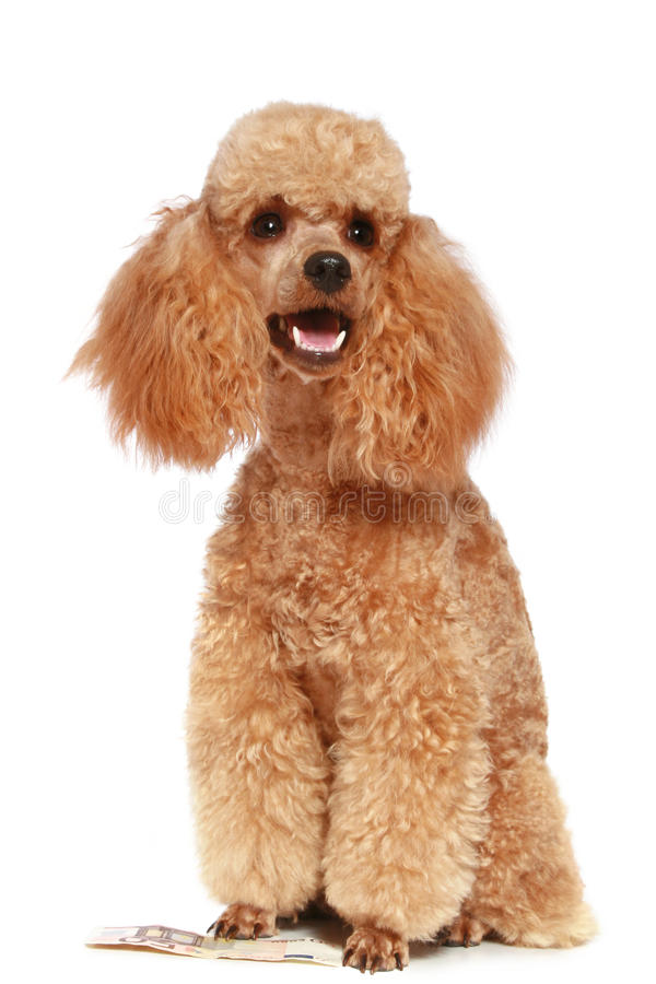 Small apricot poodle royalty free stock photos