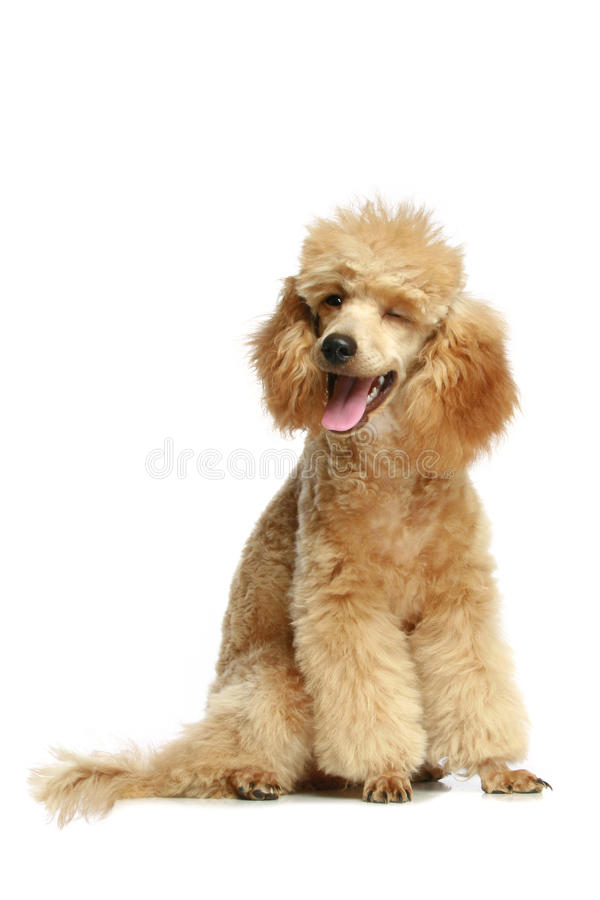 Small apricot poodle puppy. Isolated on white background stock photos
