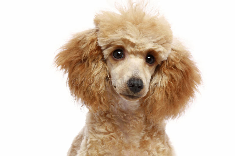 Small apricot poodle puppy stock photography
