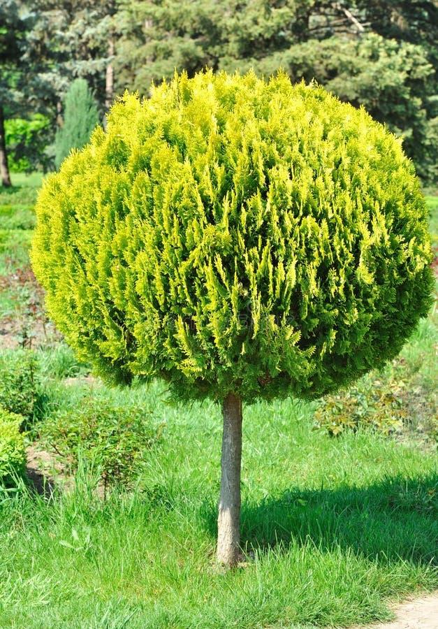 Small arborvitae, shorn round tree in the yard. A small arborvitae, shorn round tree in the yard in garden stock photo
