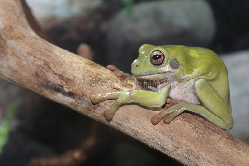 A small Australian toad stock images