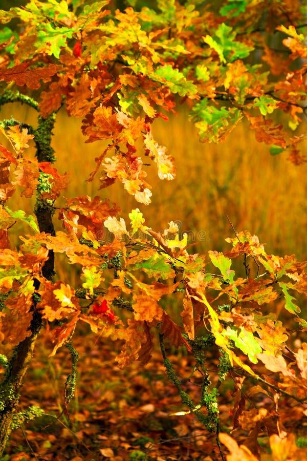 Small autumn oak tree stock photo
