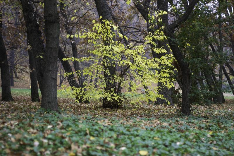 Small tree in the forest. A small autumn tree with yellow leaves against the backdrop of large trees and a squirrel running alongside royalty free stock images