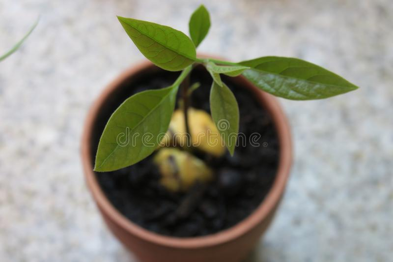 Small Avocado Tree. If you like to feel great, you can have a small tree out of a Avocado core. good sense=growing green plant stock photo