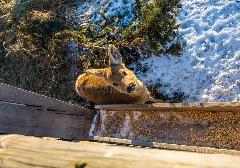 A small baby deer stands near a grain feeder, Altai, Russia stock photo