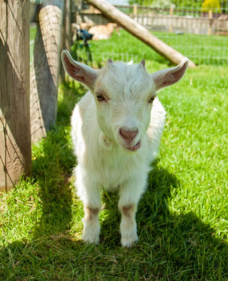 Small baby goat in the British countryside. stock photo