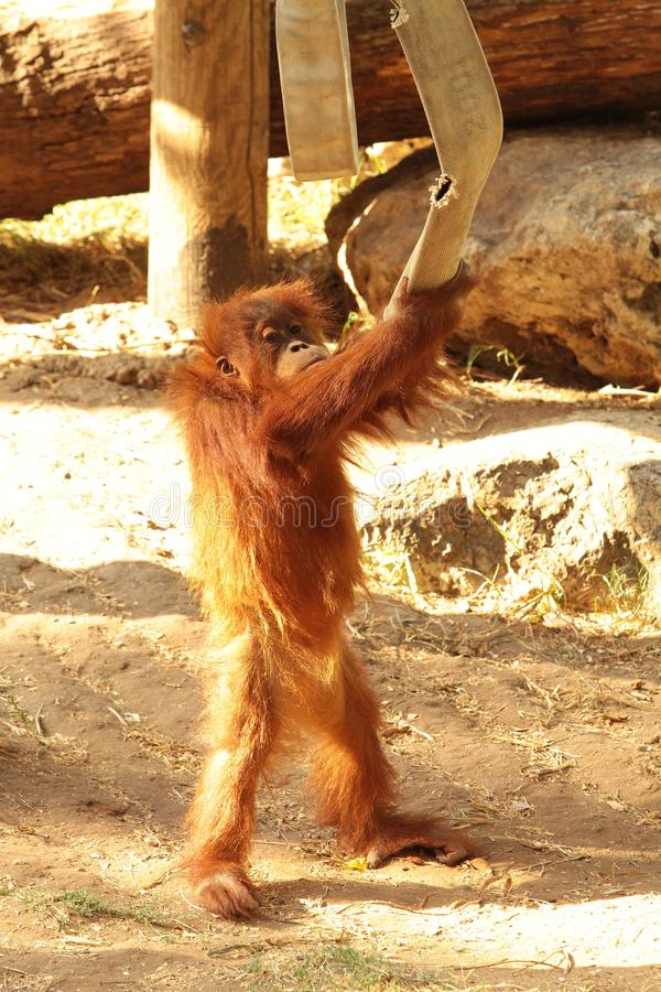 a small baby orangutan is played by a fire hose. stock photos