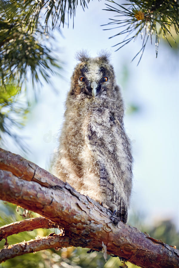 Small baby owl in the forest royalty free stock image
