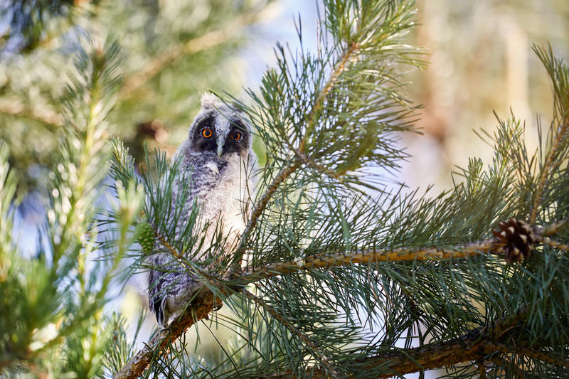 Small baby owl in the forest royalty free stock images