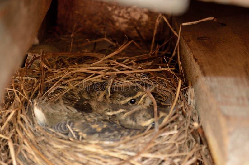 Small baby sparrow birds in nest macro detail stock photo