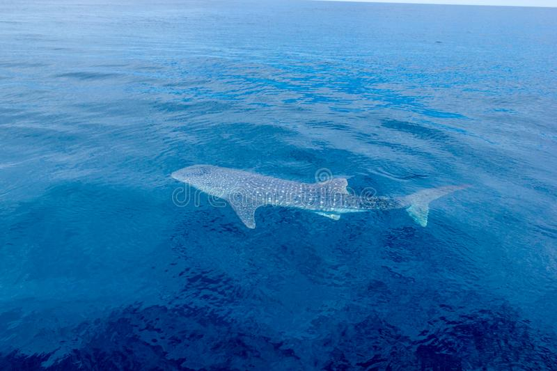 a small baby Whale Shark, shot from a boat, Nigaloo Reef Western Australia stock photography
