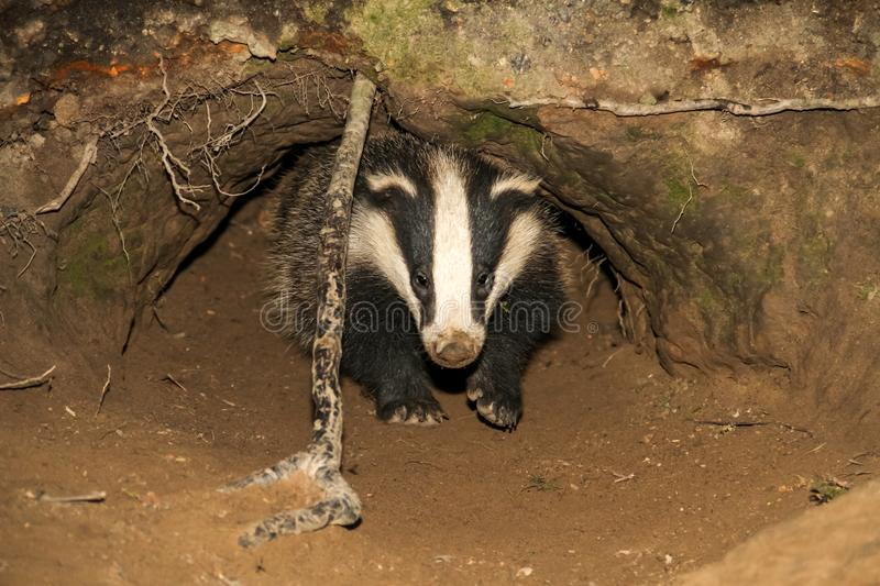 Badger cub Meles meles emerging from the badger sett. Small badger cub emerging from a badger sett and look forwards. The badger is about to leave the sett and royalty free stock image