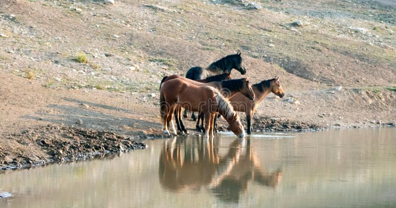 Band of wild horses reflecting in the water while drinking at the waterhole in the Pryor Mountains Wild Horse Range in Montana USA. Small band / herd of wild royalty free stock images