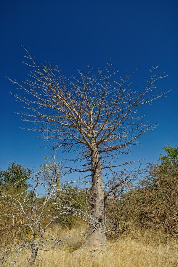 Small Baobab tree. Against a blue sky in Botswana, Africa royalty free stock images