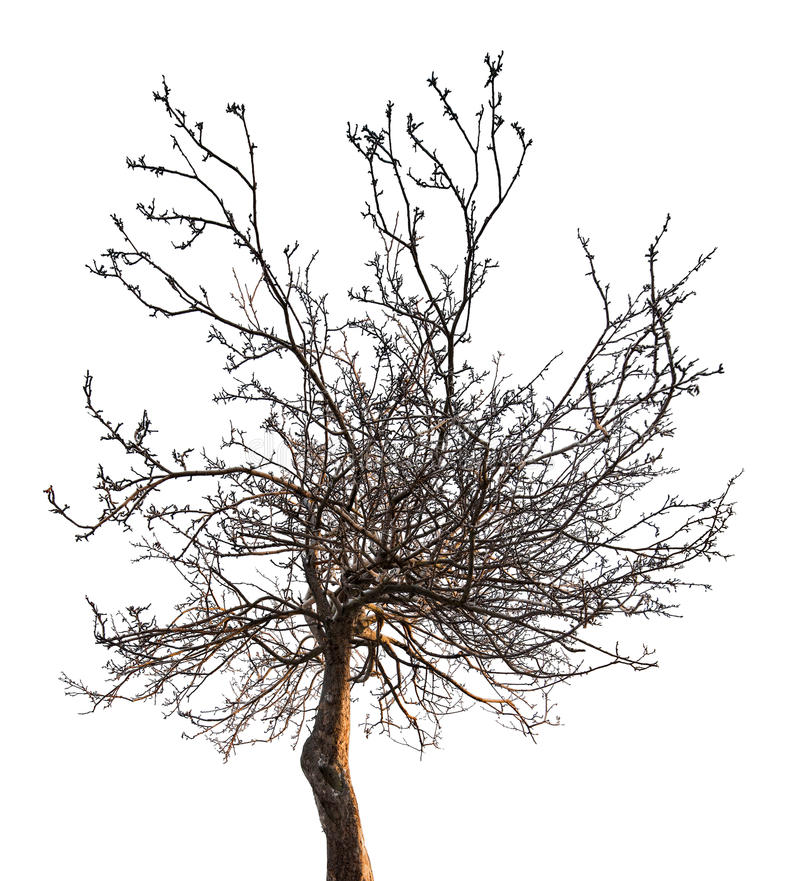 Small bare tree with dense branches. Tree without leaves isolated on white backgriund royalty free stock image