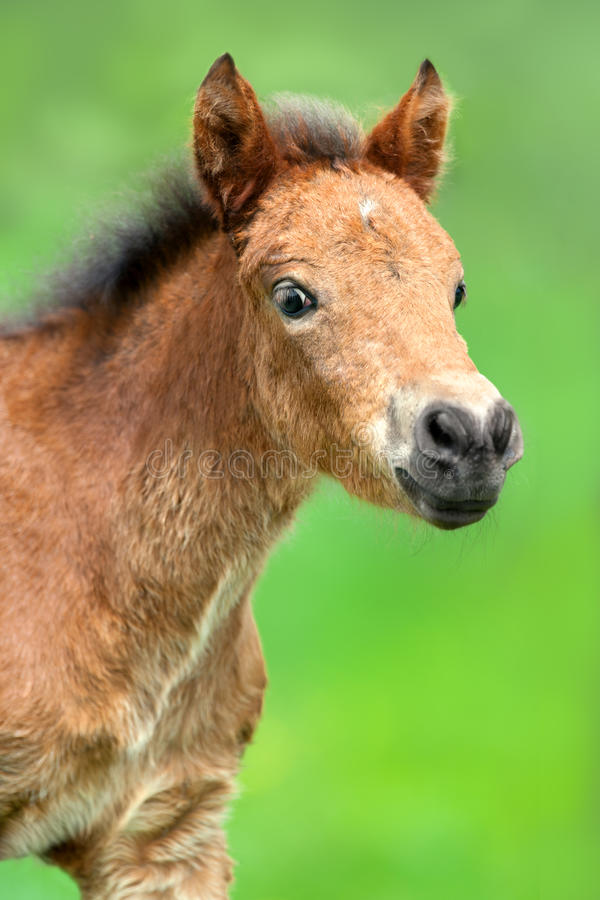 Free Small Bay Colt Portrait Royalty Free Stock Photography - 92465627