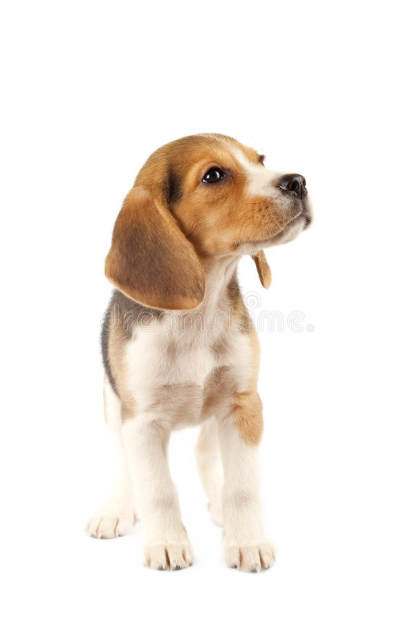 Small Beagle puppy stock image