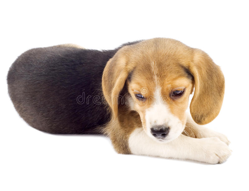 Small beagle puppy lying down stock image
