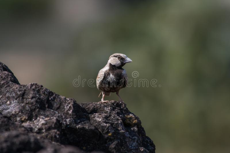 Ashy Crown sparrow lark male. Small beautiful bird Ashy Crown sparrow lark male from Central India stock photography