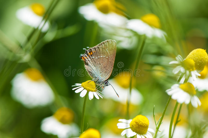 Small beautiful butterfly on camomile flower royalty free stock image