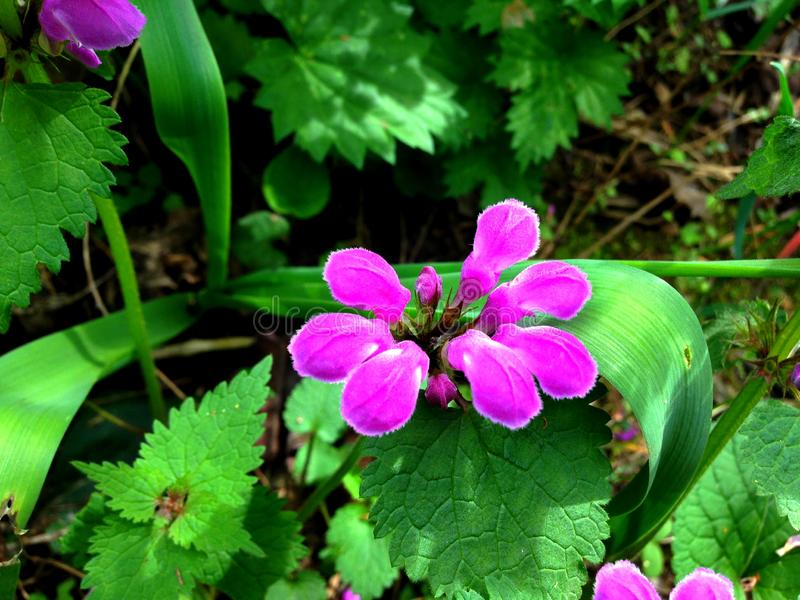 Purple flower. Small, beautiful purple flower in the springtime stock photography