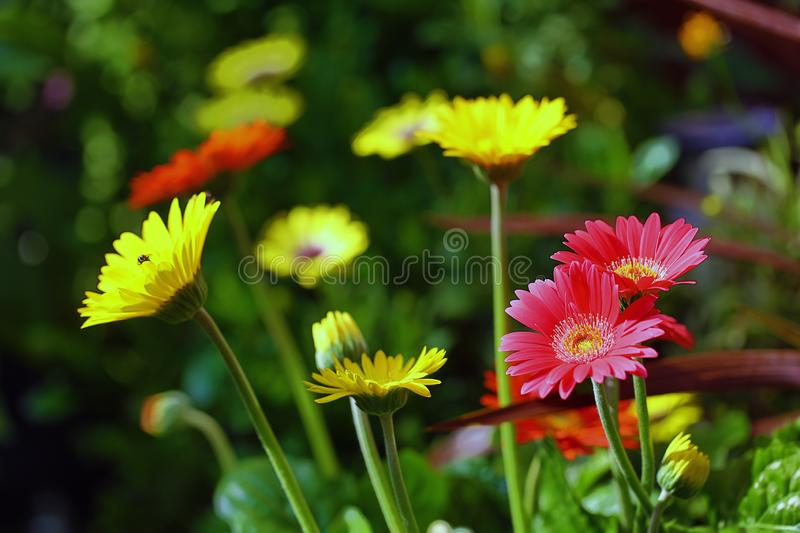 Beautiful colourful selection of a bed of brightly coloured Gerbera Flowers in full bloom. A small bed of colourful Gerbera Transvaal daisy flowers with a stock photography