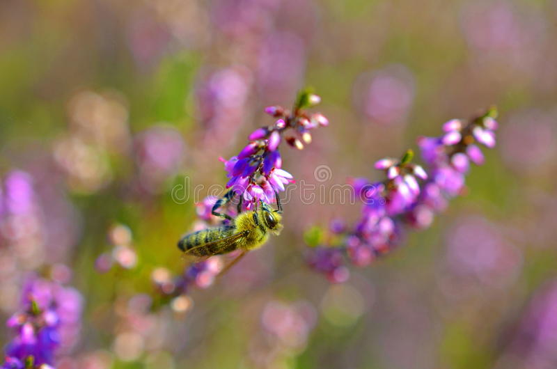 Small bee pollinating pink heather erica. Weed royalty free stock photos