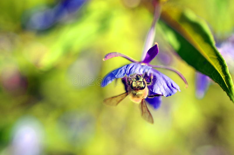 Small bee pollinating pink heather erica. Weed stock photos