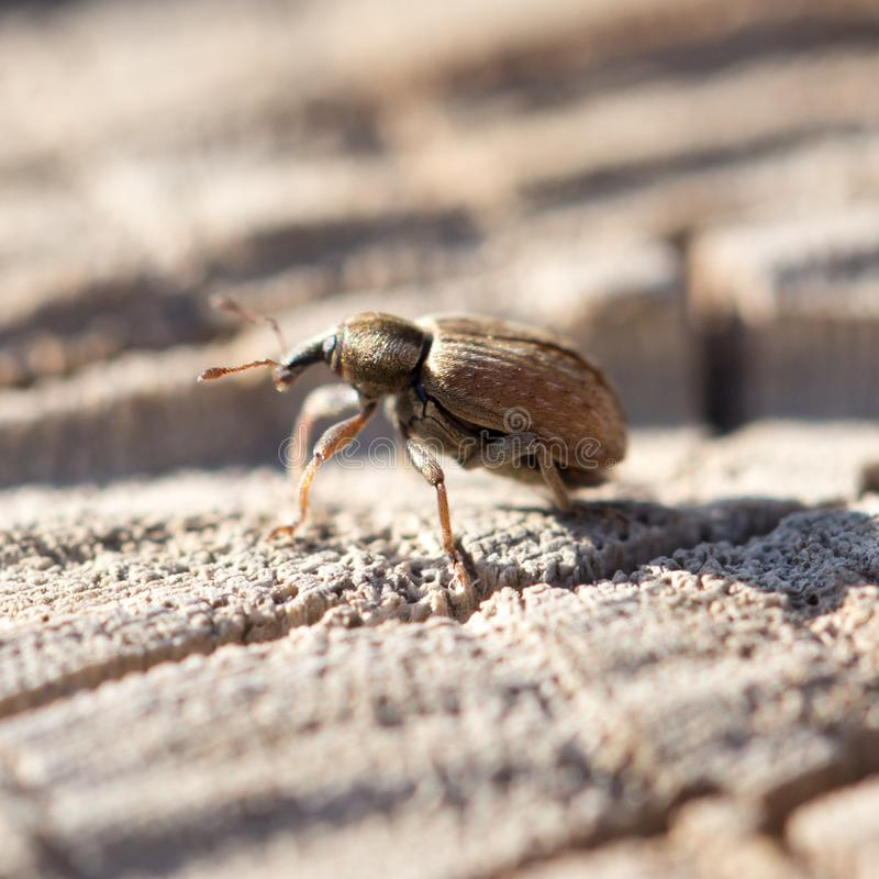 Small beetle. macro royalty free stock photography