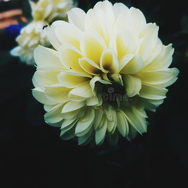 Flower bent head. Small beetle moves on a yellow flower in the garden royalty free stock image