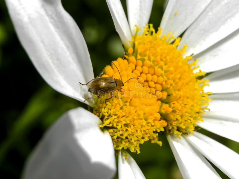 Small beetle in white daisy 1 royalty free stock image