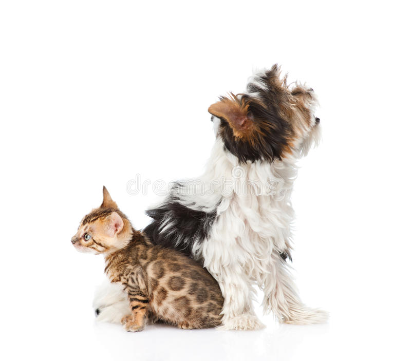 Small bengal cat and Biewer-Yorkshire terrier puppy sitting in profile. isolated on white stock image